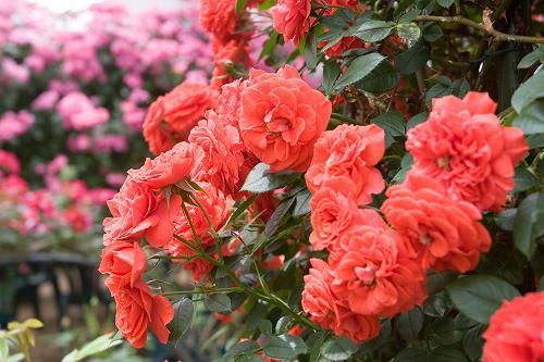 ローズヒルあまがせのバラ