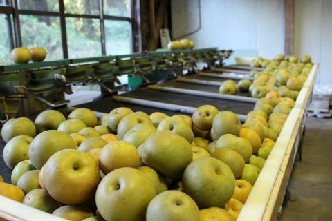 梨をここでサイズ分け